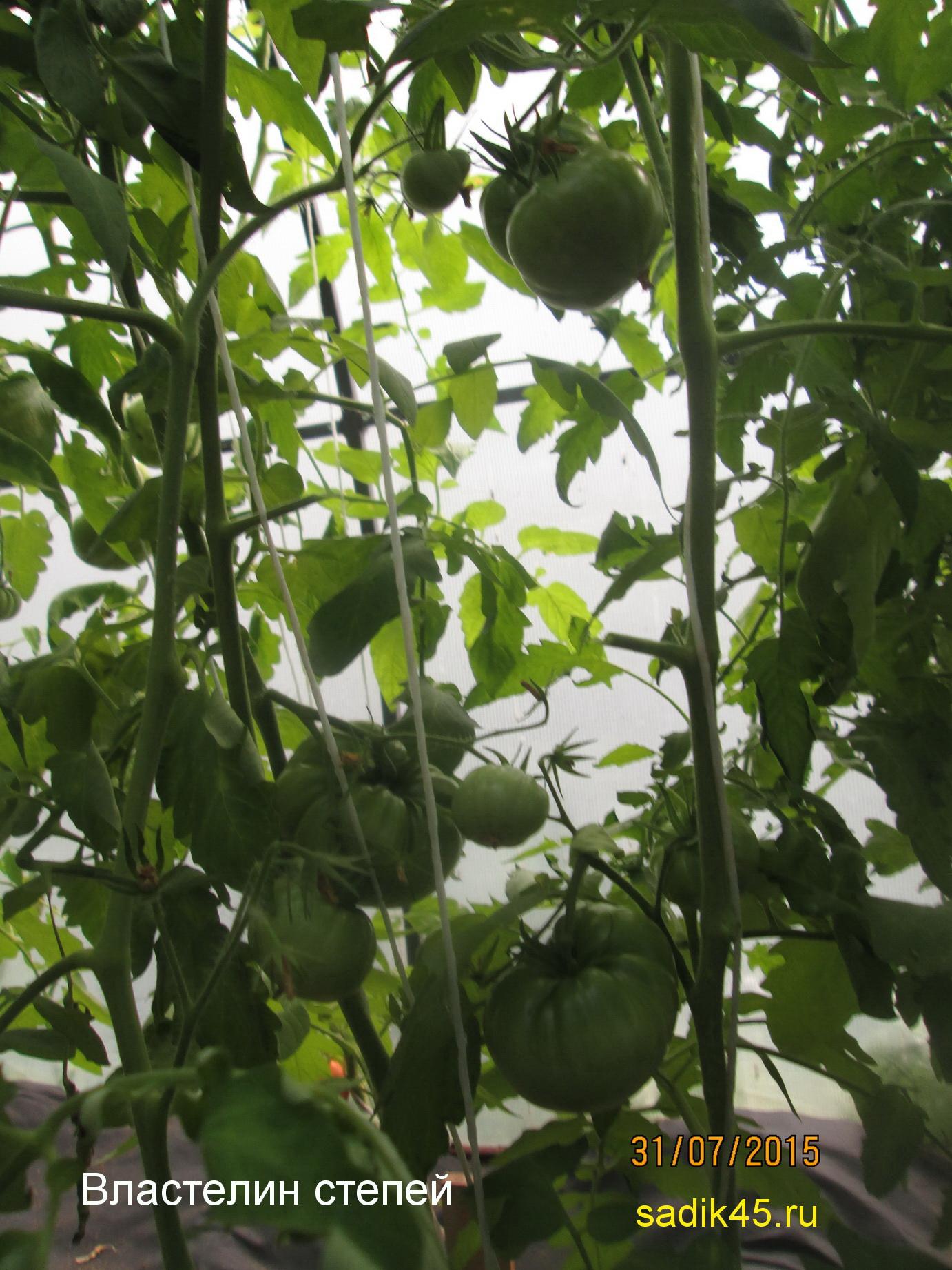Что за сорт томатов властелин степей