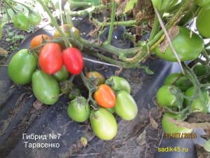 гибрид №7 тарасенко