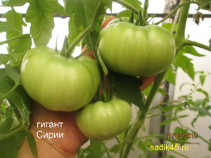 гигант сирии1 (5)