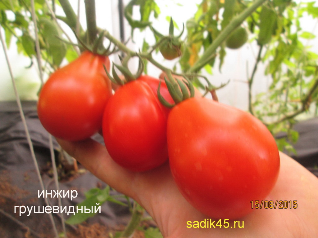 Томат инжир красный характеристика и описание сорта