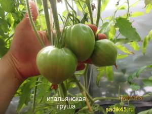 итальянская груша1 (6)