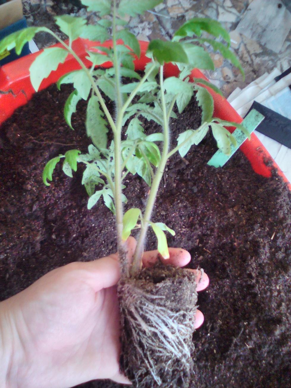 Как выращивать помидоры из семян 9