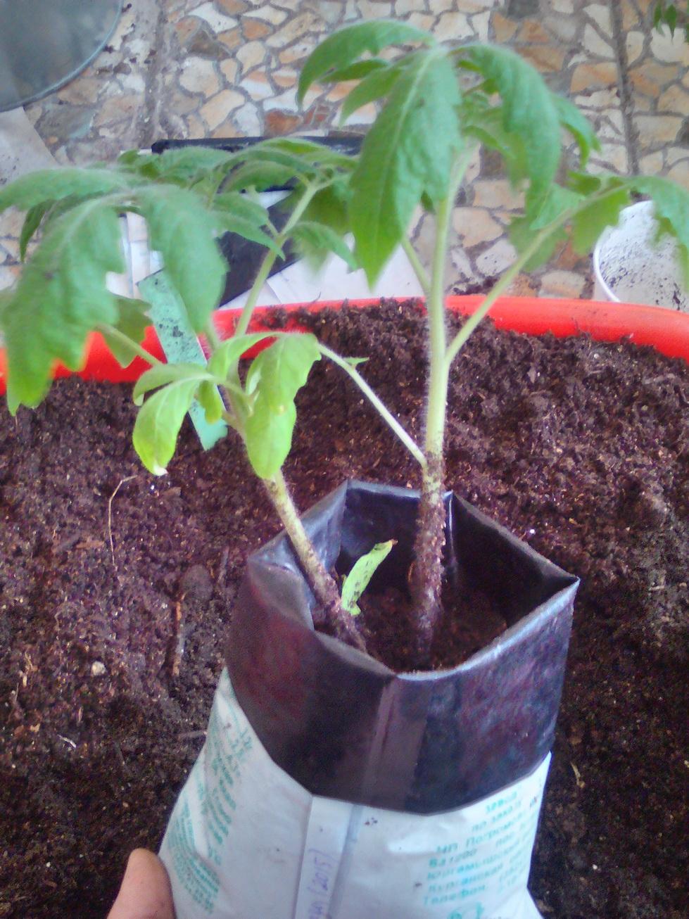 Как выращивать помидоры из семян 56