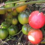 ленинградский крупноплодный (3)