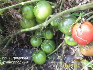 ленинградский крупноплодный (7)