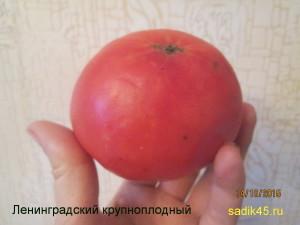 ленинградский крупноплодный (9)