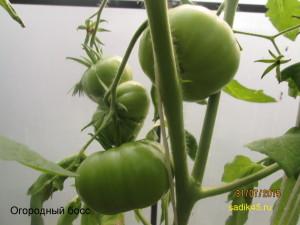 огородный босс 1 (2)