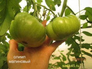 олимп малиновый 1 (1)