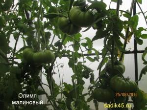 олимп малиновый 1 (2)