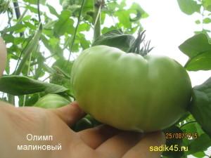 олимп малиновый 1 (3)
