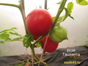 роза ташкента 1 (1)