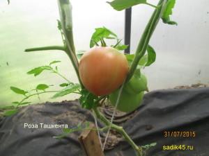 роза ташкента 1 (7)