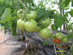 румба ожаровский 12 (4)