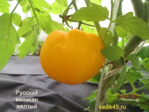 русский великан желтый 1 (3)