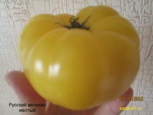 русский великан желтый 1 (6)