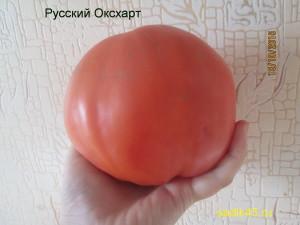 русский оксхарт 1 (10)