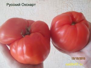 русский оксхарт 1 (14)