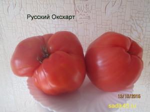 русский оксхарт 1 (8)
