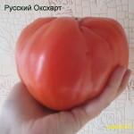 русский оксхарт 1 (9)