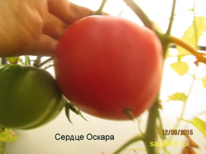 сердце оскара 1 (9)