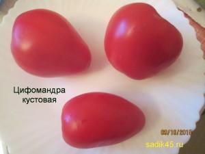 цифомандра кустовая 1 (3)