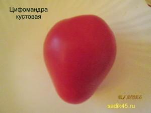 цифомандра кустовая 1 (4)