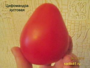 цифомандра кустовая 1 (5)
