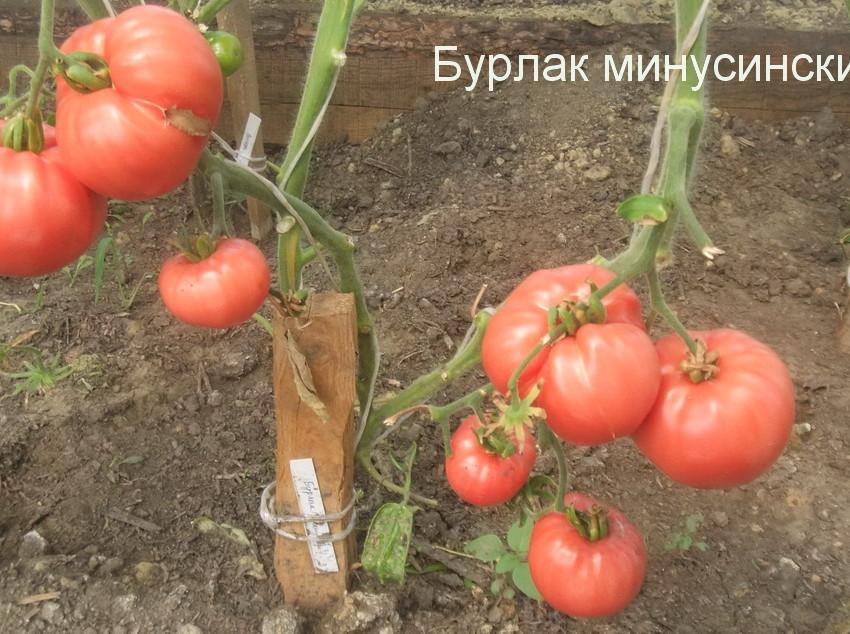бурлак минусинский 1 (18)