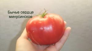бычье сердце минусинское1 (8)