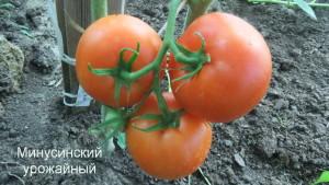 минусинский урожайный 1 (4)