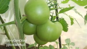минусинский урожайный 1 (5)