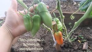 перцевидный длинный минусинский 11) (9)