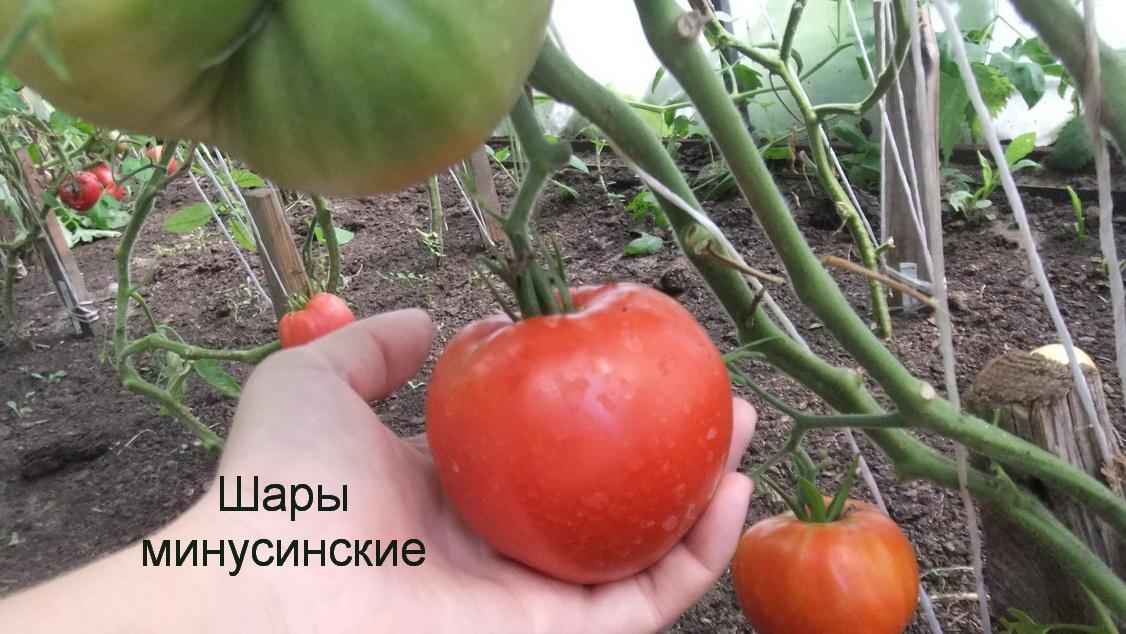 Свои семена томата форум