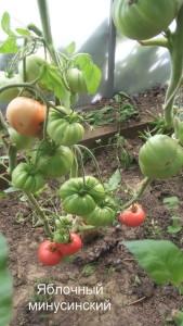 яблочный минусинский1 (19)