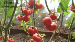 яблочный минусинский1 (8)