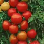 graines-tomate-money-maker-open-pollinated-tomato-seeds