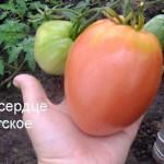 бычье сердце советское (1)
