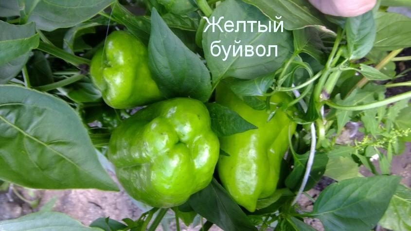 Новинки семян перцев