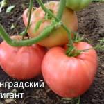 ленинградский гигант (1)