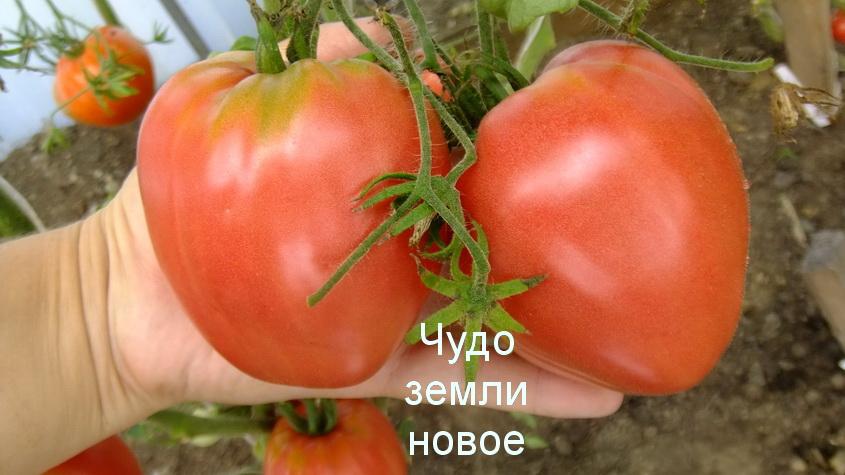 Новинки семян томатов