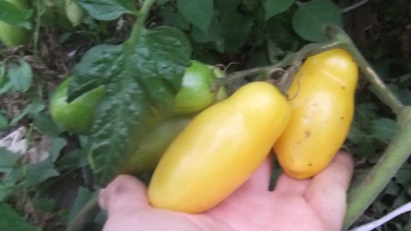 банан желтый (1)