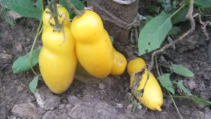 банан желтый (2)
