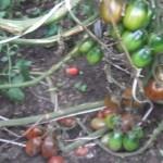 испанский емно-малиновый (2)