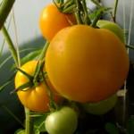 крупный апельсин пэга (4)