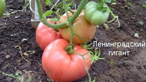 ленинградский гигант (5)
