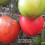 ленинградский крупноплодный (4)