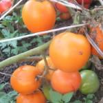 мармелад оранжевый (1)