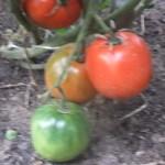 минусинский яблочный усыпной