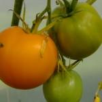 туапсинский апельсин