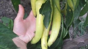 банановый баунти (1)